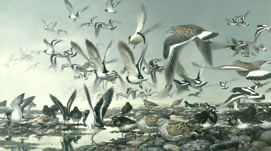Turnstones painting by John C. Pitcher