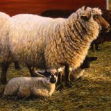 Sheep oil painting by Sue Westin