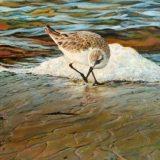 Sanderling painting by Sue Westin